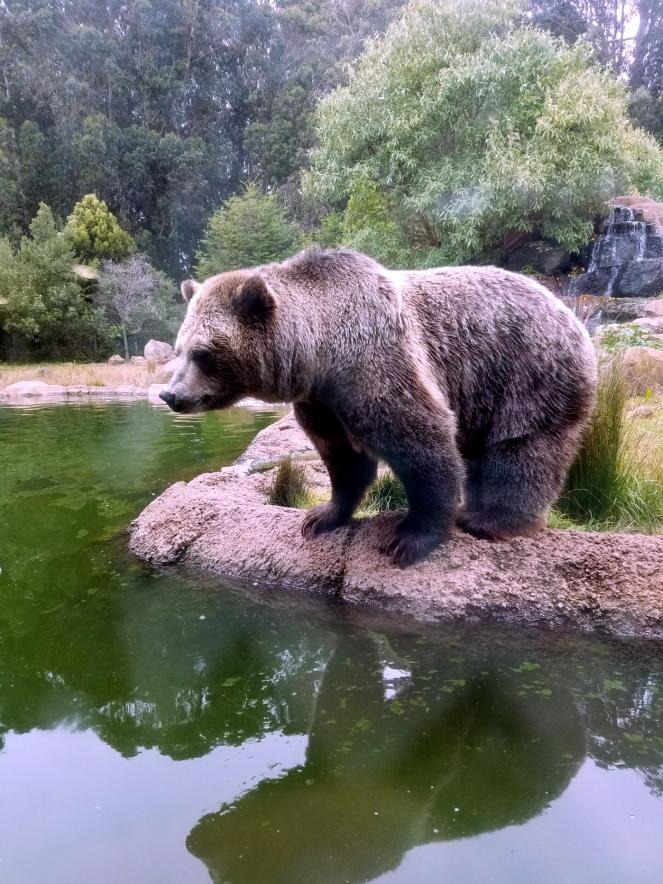san francisco zoo, sf zoo parking, sf zoo bear, bear in a zoo, sf zoo